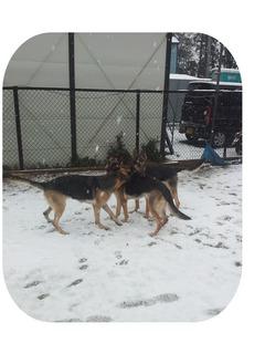 雪 訓練所犬2.jpg